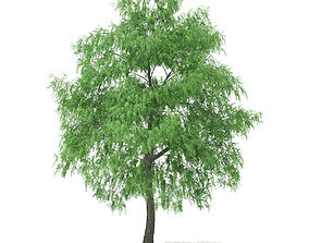 3D model White Willow Salix alba 15m