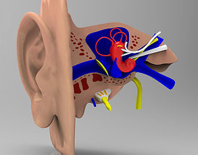 Human Ear Section Studio Max obj 3D