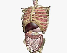 3D model Torso Anatomy