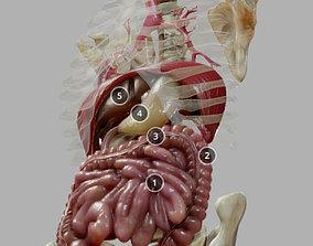 Gastrointestinal Tract 3D asset