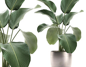 3D model Calathea lutea in a pot for the interior 683