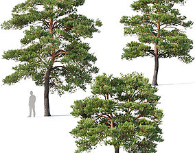 Pinus sylvestris Nr5 H7-10m Three tree set 3D model