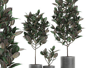 Ficus tree in pots for the interior 608 3D model
