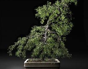 Bonsai Tree traditional 3D model