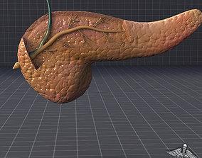 Pancreas Anatomy 3D model