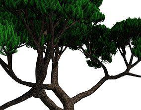 Japanese Pine B 3D model