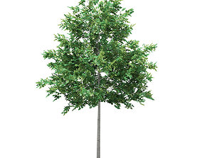 3D model Bigtooth Aspen Populus grandidentata 5m