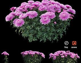 Chrysanthemum flower Plant set 01 3D model