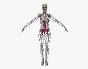 Female Circulatory System Anatomy 3D model