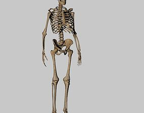 low-poly Human Anatomy Skeleton 3D