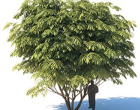 Manchurian walnut - Juglans mandshurica 7 meters 3D