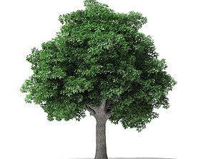 white White Ash Tree 3D Model 10m