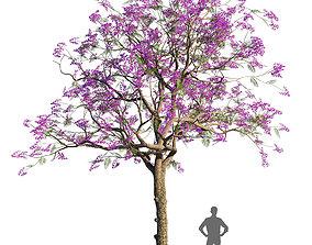 Jacaranda mimosifolia 1 3D model