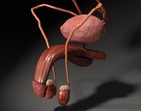 Genito-urinary tract male 3D model