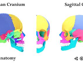 3D asset Human Cranium