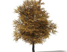 Field Maple 3D Model 8m
