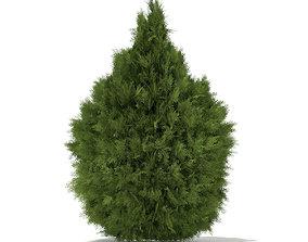 3D model White Cedar Thuja occidentalis 2m 3