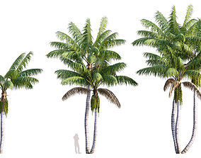 3D Howea forsteriana Mature - Kentia Palm Mature - 02