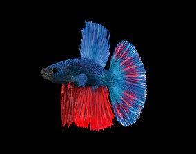 animated BETTA FISH ANIMATION HIGHT POLY MODEL