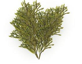 3D asset Egg Wrack seaweed H2
