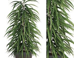 3D Ficus Alii