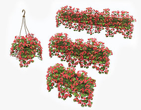 Pelargonium box flower 3D