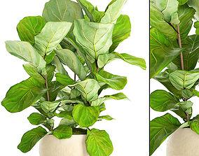 bush Ficus Lyrata Trees 3D model