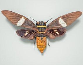 Cicada Tosena Fasciata Sumatra Insect 3D asset