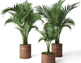 Palm Howea 3D