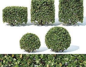 3D Cotoneaster lucidus Nr 4- Ten cubes - sphere hedges