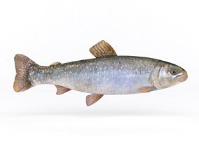 fish Fresh Char Fish 3D model