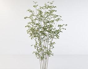 octane Fraxinus griffithii Tree 2 3D model