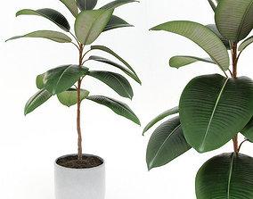 3D model Ficus elastica decora small