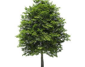 Scotch Elm 3D Model 12m