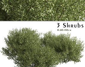 3D model Set of Buxus bodinieri or Buxus Shrubs - 3 Shrubs