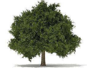 3D European Yew Taxus baccata 6m