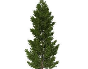 3D pine tree 20m