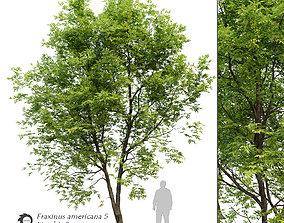 3D model Fraxinus americana- White ash 5