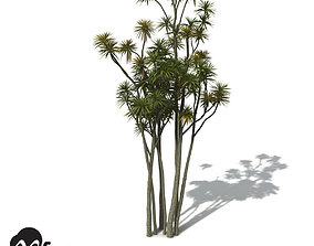 XfrogPlants New Zealand Cabbage Tree 3D