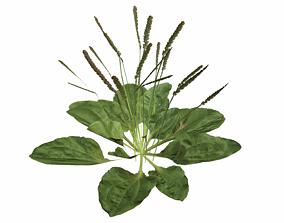 Broadleaf Plantain 3D asset