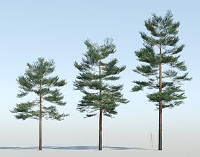 3D model Pinus sylvestris - Scots pine -