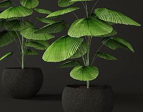 Palm tree Licuala orbicularis 3D