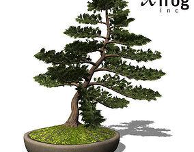 XfrogPlants Hinoki False Cypress Bonsai 3D