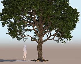 3D Coast live oak quercus agrifolia a