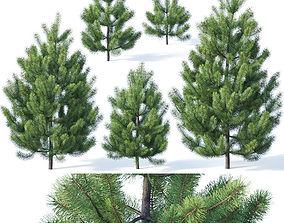 3D Pinus sylvestris Nr1 H1-3m