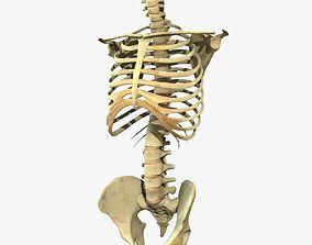 3D Skeleton Torso Rigged
