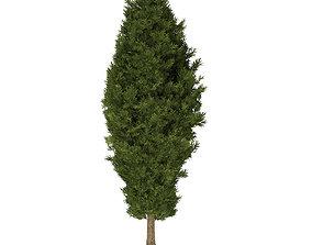 European Yew Taxus baccata 11m 3D model
