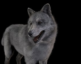 Wolf Grey Rigged 3D model High Detailed rigged