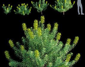 Euphorbia characias - Bush or Dome Euphorbia 3D