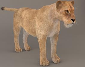 3D Lioness Fur Model